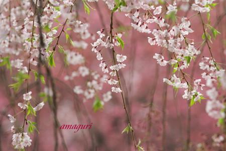 Amaguri_2
